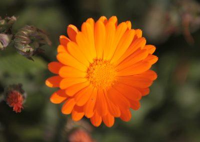 VERANO Flor Naranja Farellones 03